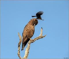 Brown-Snake-Eagle__AM07588 (SueM59) Tags: birds brownsnakeeagle knp may2018 raptors