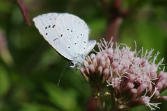 IMGP7089c Holly Blue, Lackford Lakes, July 2018 (bobchappell55) Tags: hollyblue celastrinaargiolus butterfly insect nature naturereserve wild lackfordlakes suffolk