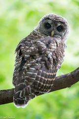 Juvenile Barred Owl (Lyall Bouchard) Tags: barredowl bird minersmarsh novascotia kentville canada ca