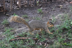 Squirrels in Ann Arbor at the University of Michigan (August 17th, 2018) (cseeman) Tags: gobluesquirrels squirrels annarbor michigan animal campus universityofmichigan umsquirrels08172018 summer eating peanut augustumsquirrel