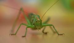 Tettigonia viridissima (Torok_Bea) Tags: tettigoniaviridissima szöcske zöldlombszöcske lombszöcske macro makró nikon nikond7200 d7200 sigma sigma105mm insect insecta garden home natur naturlover nature