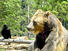 two friends chatting in .... (Shein Die) Tags: yellowstone bear grizzly crow nature animals wyoming montana raven yellowstonenationalpark