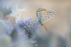 Icarusblauwtje - Polyommatus icarus (rinus64) Tags: icarusblauwtje polyommatusicarus d500 nikon blauwezeedistel eryngiummaritimum