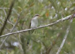 Yellow-billed Cuckoo 4-22-14 (Carol Riddell) Tags: cuckoo yellowbilledcuckoo fortdesotopark pinellascountybirds floridabirds coccyzusamericanus