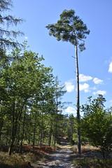 hoog_D710229 (Vogelmelk) Tags: boom bos veluwe