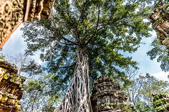 Large Tree with Elaborate Roots at Ta Prohm Temple, Cambodia-38a (Yasu Torigoe) Tags: sony a99ii a99m2 sonyilca99m2 siemreap siem reap angkor archeological archeology park history ancient architecture temple religion religious buddhism buddhist buddha historical ta prohm taprohm jungle trees tree tombraider banyan tomb crypt laracroft lara croft suryavarman vishnu stonework buildings surreal sculpture structure deityroots landscape overgrown vines art theravada photograph photography dynamic travel asia cambodia southeast deity ruins khmer roots