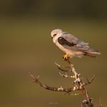 White tailed kite thumbnail