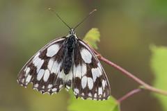 Schachbrettfalter (walter hinn) Tags: genehmigt tiere insekten schmetterlinge tagfalter