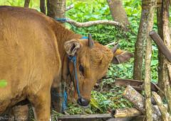 Banteng / Бантенг (Vladimir Zhdanov) Tags: travel indonesia bali nature animal banteng grass