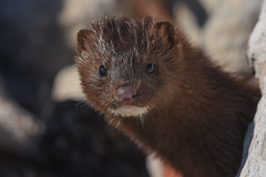 Mink (aj4095) Tags: mink nature wildlife ontario canada