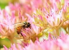 Honey Bee on Sedum (Karen_Chappell) Tags: macro nature bee flower floral garden pink insect canonef100mmf28usmmacro botanicalgarden newfoundland stjohns summer honeybee nfld canada atlanticcanada avalonpeninsula pastel