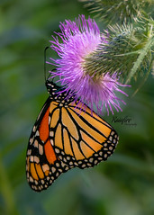 Monarch Butterfly (Rainfire Photography) Tags: butterfly monarch nature wildlife thistle beautiful hallsroad lyndeshores ajax nikon d7200