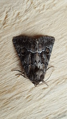 20180812_154531 (Paul Young1) Tags: noctuidae darkarches apameamonoglypha 1 one single moth moths animal animals insect insects insecta arthropod arthropods arthropoda lepidoptera nature wild wildlife uk british britain perched perching close study imago unitedkingdom closeup top topview closedwings