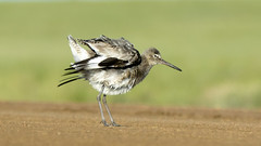 Shake your tail feathers (AmyEHunt) Tags: willet wildlife bird animal nature wild dirt feather laramie wyoming canon