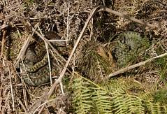 3 Female Adders (farrertracy) Tags: adder summer reptile viperaberus gravid o