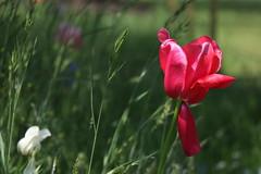 Wild tulip (Ce Rey) Tags: tulip tulipan park nature naturaleza flor flores planta pink petalos petals petal weeds maleza green