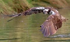 Osprey in flight (4) (robin denton) Tags: pandionhaliaetus trout prey bird nature wildlife rutland osprey hornmilltroutfarm oakham uk