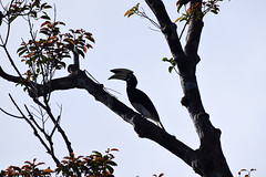 Oriental Pied Hornbill (Anthracoceros albirostris), Tanjung Puting NP, Central Kalimanan (Borneo), Indonesia (West Tribe) Tags: oriental pied hornbill indonesia asian asia southeastasia asie bird oiseaux animal borneo island tanjungputing nationalpark rain forest jungle large