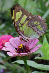 SherriFeliccia-CityHall-FlyingColorsandFlowers-04.jpg (sherri_lynn) Tags: flowers butterflies nature plants malachitebutterfly