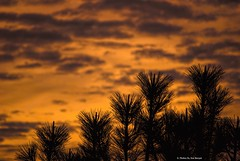 Somewhat cloudy.... (Joe Hengel) Tags: somewhatcloudy socal southerncalifornia sunset sanjuancapistrano silhouette silhouettes pinetree trees california clouds ca cloudsorangecounty cloudy orangecounty oc outdoor goldenstate golden goldenhour glow evening eveninglight eveningskies darkness su
