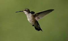 Juvie In Flight (Diane Marshman) Tags: rubythroated hummingbird small bird juvie juvenile male inflight flight flying action motion hovering long black beak white chest breast spotted throat green feathers summer northeast pa pennsylvania nature wildlife
