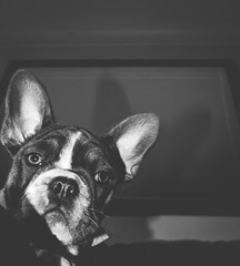 I'm deadly serious, have a great day.   😁 #downwarddog    #delayedresponse #graphic #frenchie #greetings #bigears #theboss #dogs #puppylove #frenchbulldog #minimal #frenchielove #cutenessoverload #moodygrams #tea_journals #doglover #lightandshadow #p (jophipps1) Tags: noiretblanc bnwrose moodygrams mood puppylove teajournals greetings streetphotography minimal blackandwhite frenchbulldog dogs lightandshadow graphic downwarddog frenchie art frenchielove bnw flickr delayedresponse cutenessoverload puppy doglover bigears bnwofourworld amateurbnw dog boss