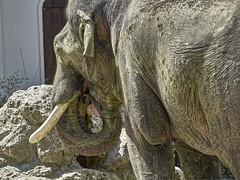 Leckermaul (Helmut Reichelt) Tags: leckermaul elefant rüssel juli sommer münchen zoo tierpark hellabrunn oberbayern bavaria deutschland germany panasonic lumix fz200 captureone11 dxophotolab