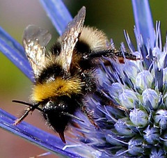 Black Bottom Bee Eryngium Flower (jdathebowler Thanks for 2.6 Million + views.) Tags: blackbottombee bee insect honeygatherer eryngiumflower seaholly plant perennialherbs fantasticnature alittlebeauty eblouissantenature colorsoftheheart coth5