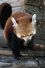 Petit panda (Passion Animaux & Photos) Tags: petit panda roux redpanda ailurus fulgens parc animalier auvergne france