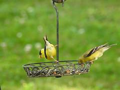 Goldfinch-the-only-way-to-dine (carolinawren2) Tags: goldfinch birding backyard ohio passeriformes fringillidae backyardbirds photography