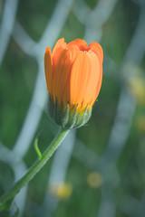 (taleuxeric) Tags: orange fleur fleurs floral flowers macrophoto macrophotography