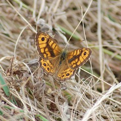 Wall Brown (crs17) Tags: wall brown butterfly bug lepidoptera insect