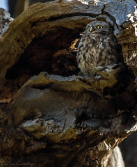 Oh Little Owl.. (*LaurenMcCartney*) Tags: little owl littleowl nocturnal richmond richmondpark natgeo green brown rare endangered wild wildlife animal canon light reflect tree bird prey camouflage