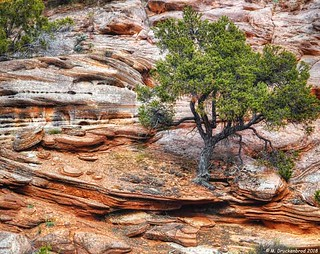 A Tree Survives in the Kanab Utah Sandstone