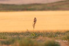 Burrowing Owl owlet picks a high perch