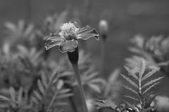 Shades Of Black And White (Modkuse) Tags: marigold marigolds flower monochrome bw blackandwhite fujifilm fujifilmxt2 acros xt2acros fujifilmxt2acrossimulation nature natural photoart xf35mmf2rwr fujinonxf35mmf2rwr