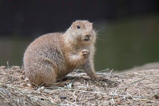 Black-tail Prairie Dog