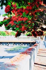En el camino al trabajo (JSG67) Tags: canarias primavera flores tenerife verano flanboyan