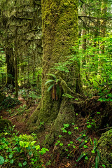 Castle Grove Trail, Carmanah Walbran Provincial Park, Vancouver Island, BC (www.clineriverphotography.com) Tags: yeartaken castlegrovetrail vancouverisland carmanahwalbranprovincialpark castlegrove canada location britishcolumbia upperwalbranvalley 2018