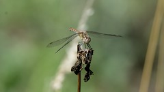 NEW7654 (davefieldson) Tags: dragonfly outside outdoor wildlife nature