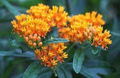 Asclepias tuberosa (HansHolt) Tags: asclepiastuberosa butterflyweed milkweed zijdeplant amerikaansezijdeplant flower bloem orange oranje petals bloemblaadjes bokeh macro canon 6d 100mm canoneos6d canonef100mmf28macrousm