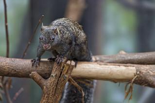 Yucatan squirrel on the branch
