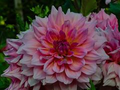 Otto´s Thrill dahlia (frankmh) Tags: plant flower dahlia otto´sthrill sofiero sofierocastlegarden helsingborg skåne sweden macro