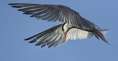 Tern - Fast action photography at its best (Ann and Chris) Tags: avian amazing bird beak beautiful flying feathers hunting hunt hovering impressive looking rutlandwater rutland tern wild wildlife waterbird