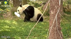 2018_08-19 (gkoo19681) Tags: beibei chubbycubby fuzzywuzzy adorableears brighteyed treattime treattube enrichment somethingnew makingitwork toosmart toocute amazing yummybiscuit adorable precious darling meltinghearts cooldude ccncby nationalzoo