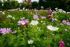 Daisies (aLittleCoyote) Tags: daisy daisies flowers white purple garden belfast