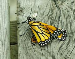 Unfolding (jameskirchner15) Tags: butterfly monarch insect wings danausplexippus orange pentax closeup macro tamronmacrolens nature michigan