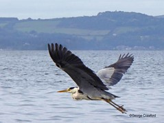 Largs Heron6 (g crawford) Tags: ayrshire northayrshirecrawford crawford bird birds heron greyheron commongreyheron largs cumbrae bigcumbrae clyde riverclyde firthofclyde