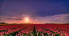 Magento Madness. (Alex-de-Haas) Tags: 11mm adobe blackstone d850 dutch hdr holland irix irix11mm irixblackstone lightroom nederland nederlands netherlands nikon nikond850 noordholland photomatix beautiful beauty bloem bloemen bloementeelt bloemenvelden cirrus floriculture flower flowerfields flowers landscape landschaft landschap lente lucht mooi polder skies sky spring sun sundown sunset tulip tulips tulp tulpen zonsondergang burgerbrug nl