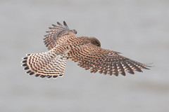 Above (Andrew_Leggett) Tags: kestrel falcotinnunculus bird birdofprey hunting hovering wind angle above feathers nature natural wildlife wild sky fromabove birdseyeview